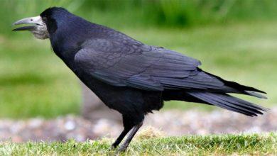 Photo of Gawron – towarzyski ptak