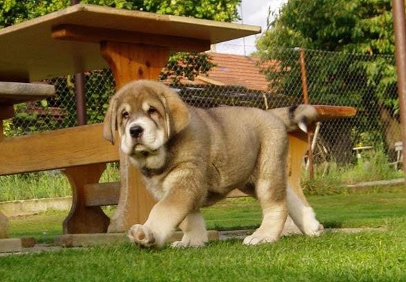 Mastif hiszpański