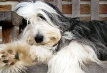 Photo of Bearded collie – czworonożny brodacz