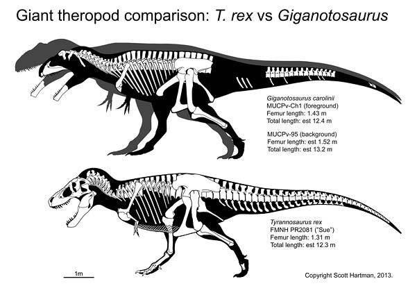Porównanie tyranozaura z giganotozaurem – Hartmana
