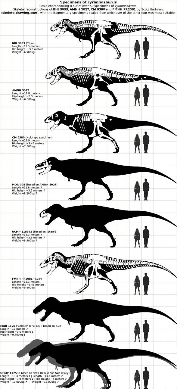 Osobniki tyranozaura i szacunki wielkości.