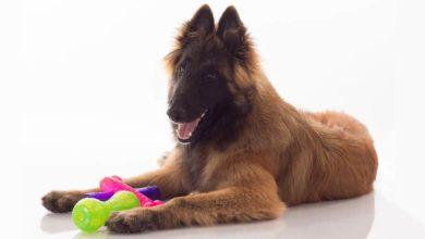 Photo of Tervueren – posłuszny i oddany pies