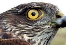 Photo of Krogulec – łowca ptaków