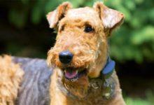 Photo of Airedale terrier – król terierów