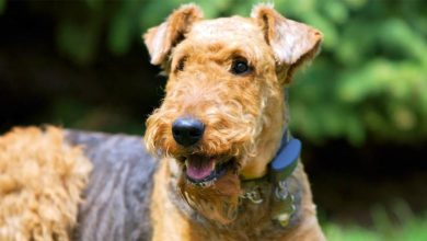 Photo of Airedale terrier – król terierów