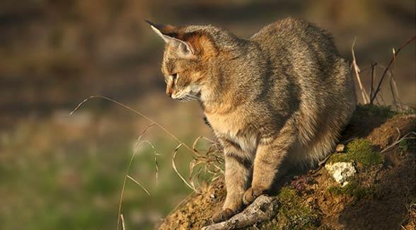 Kot błotny, chaus, kot bagienny, kot trzcinowy (Felis chaus)