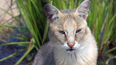 Photo of Kot błotny – bohater egipskich malowideł
