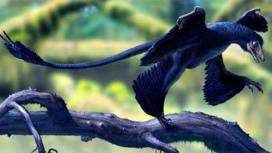 Photo of Mikroraptor (Microraptor) – mały rabuś