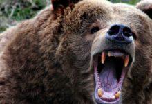 Photo of Kodiak – największy niedźwiedź brunatny