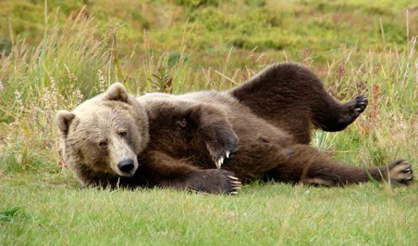 Niedźwiedź kodiacki, kodiak (Ursus arctos middendorffi)