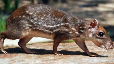 """Photo of Paka – """"królewski szczur"""""""