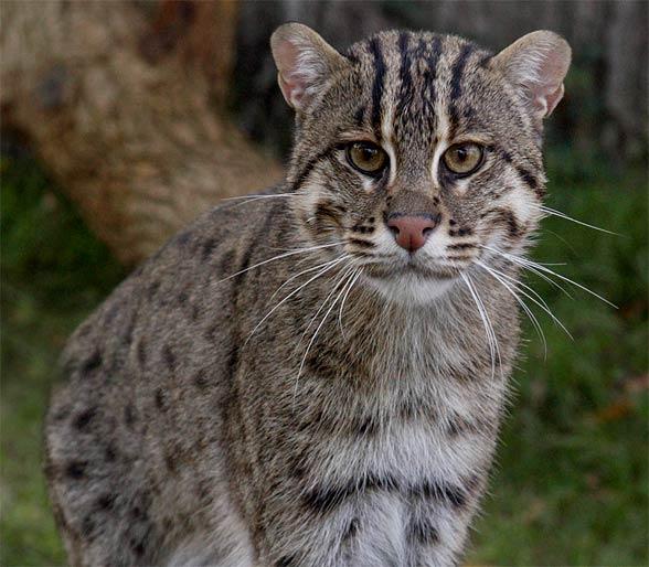 Taraj, kotek cętkowany, kot cętkowany (Prionailurus viverrinus)