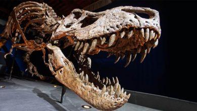 Photo of Tyranozaur Trix – królowa okresu kredy
