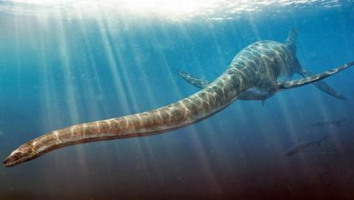 Photo of Elasmozaur (Elasmosaurus platyurus)