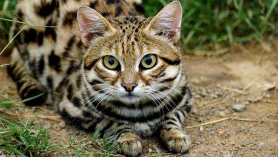 Photo of Kot czarnołapy – najmniejszy kot Afryki