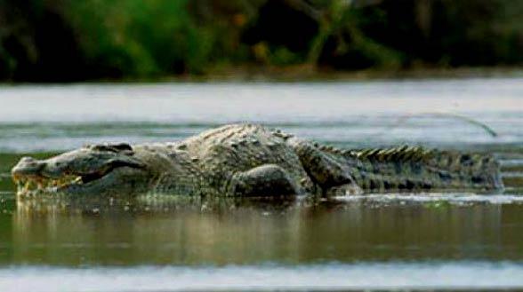 Krokodyl Gustaw