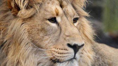 Photo of Lew azjatycki – król indyjskich lasów