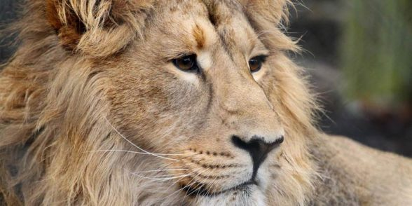 Lew azjatycki, lew perski , lew indyjski (Panthera leo persica)