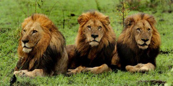 Lwy Mapogo