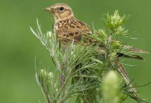Photo of Skowronek zwyczajny – ptak zwiastujący wiosnę