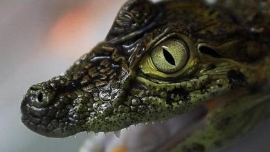 Photo of Kajman szerokopyski (Caiman latirostris)