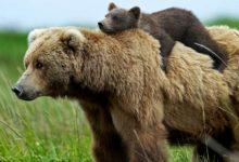 Photo of Niedźwiedzie w Polsce