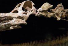 Photo of Patagotitan – największy znany dinozaur?