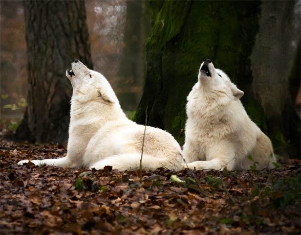 Wilki w Wolfspark Werner Freund