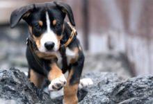Photo of Appenzeller – samodzielny pies