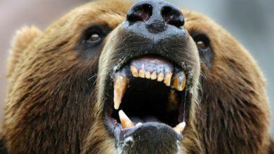 Photo of Ludojady: Kesagake – mściwy niedźwiedź