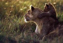 Photo of Lew wschodnioafrykański (Panther Leo Massaica)