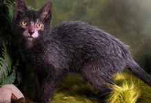 Photo of Lykoi – kot wilkołak