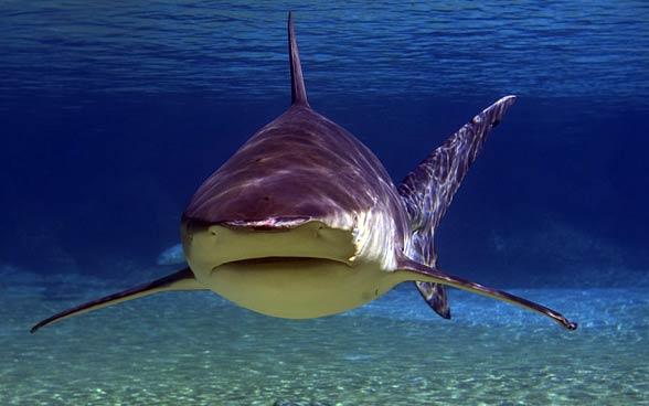 Żarłacz tępogłowy, żarłacz wielkogłowy (Carcharhinus leucas)