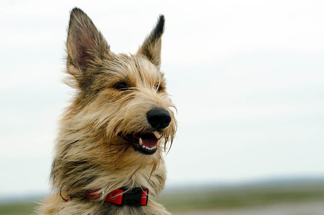 Dinoanimals Pl: Owczarek Pikardyjski – Rozczochrany Pies