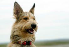 Photo of Owczarek pikardyjski – rozczochrany pies