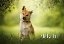 Photo of Shiba inu – odważny pies