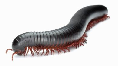 "Photo of Wije (Myriapoda) – gwiazdy ""Indiany Jonesa"""