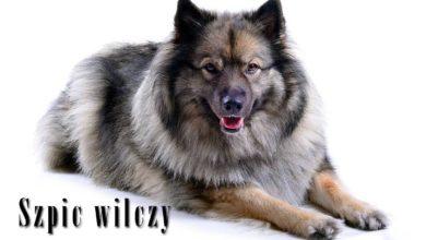 Photo of Szpic wilczy – uśmiechnięty Holender