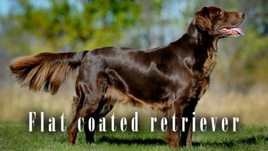 Photo of Flat coated retriever