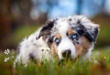 Photo of Owczarek australijski – mały niebieski pies
