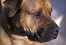 "Photo of Boerboel – ""syn lwa"""
