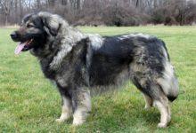 Photo of Sarplaninac – jugosłowiański pies pasterski