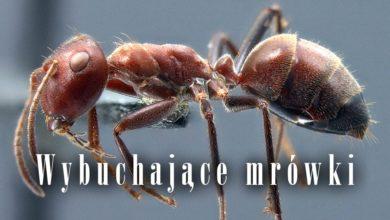 Photo of Wybuchające mrówki – mrówki kamikadze
