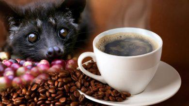 """Photo of Łaskun palmowy – """"producent"""" najdroższej kawy świata"""