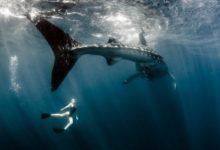 Photo of Pływanie z rekinami wielorybimi