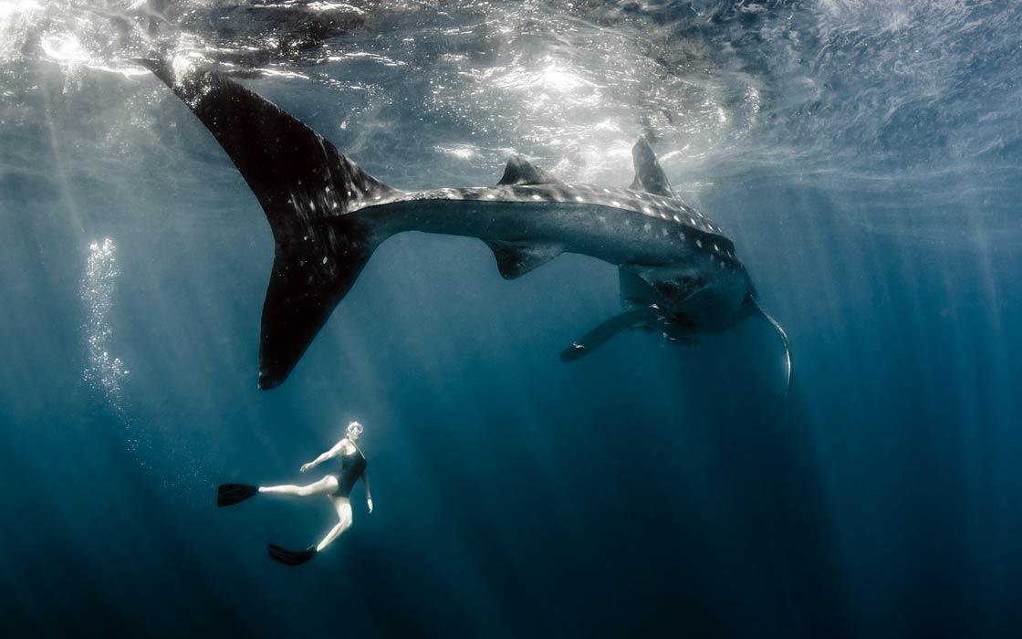 Pływanie z rekinami wielorybimi | DinoAnimals.pl