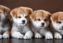Photo of Psy w Japonii – psie szaleństwo