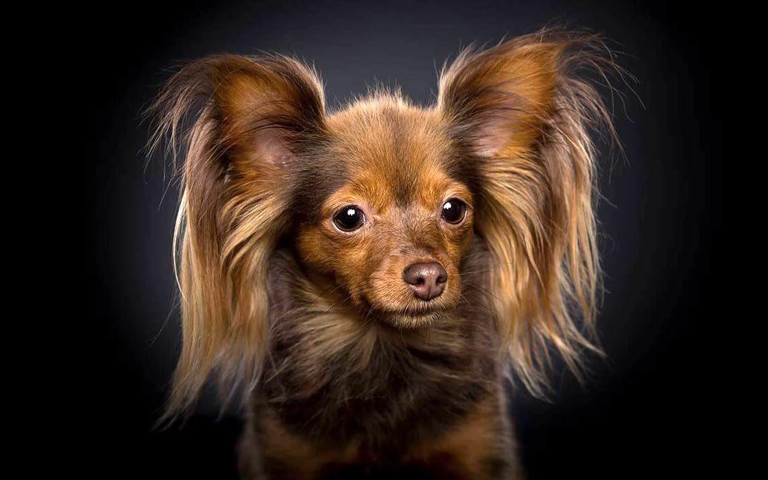 Dinoanimals Pl: Rosyjski Toy – Pies Do Towarzystwa