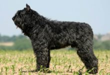 Photo of Bouvier des Flandres – owczarek flandryjski