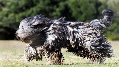 Photo of Owczarek z Bergamo – owczarek z dredami
